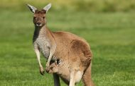 Global Warming, Heat, Draught and the Fate of the Kangaroos.